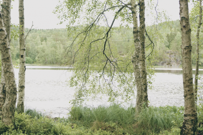 Bilde av en bjørk ved et vann